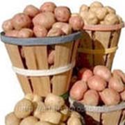Закупка молодого картофеля различных сортов фото