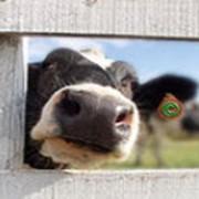 Премиксы для молочных коров и откорма телят фото