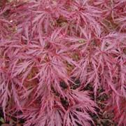 Клены Acer palmatum Dissectum фото