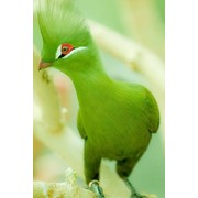 Зеленый турако (бананоед) фото