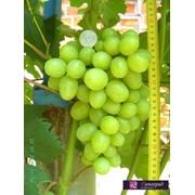 Виноград Дарья фото