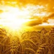 Закупаем пшеницу 2-3 классы, конкурентные цены, звоните!!! фото