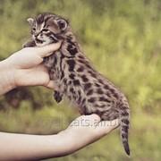 Бенгал Ф1 с мордой леопарда, первое поколение от азиатского леопарда фото