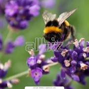 Пыльца цветочная фото
