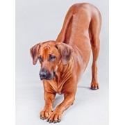 Родезийский Риджбек щенки фото