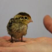 Инкубационное яйцо Фараон фото