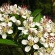 Травы лекарственные аронии фото