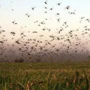 Оказание услуг обработки сельскохозяйственных посевов от вредителей фото