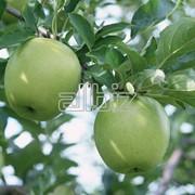 Сельское хозяйство. Плодоовощные культуры. Яблоки. фото