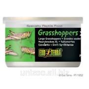 Корм для рептилий Кузнечики XL большие Hagen Exo Terra Grasshoppers фото
