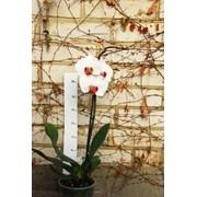 Фаленопсис Phalaenopsis (Орхідея)10 фото