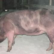 Чистопородные свинки, хряки пьетрен, ландрас, дюрок, крупно белая. фото