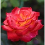 Роза Шато Жискур (Chateau Giscours), 7л. горшок. фото
