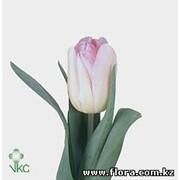 Тюльпан Foxtrot фото