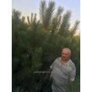 Сосна крымская фото