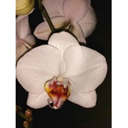 Орхидея Фаленопсис Тигровая Губа фото