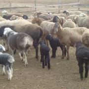 Продам овец баранов ярок ягнят курдючной породы фото