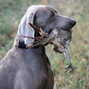 Натаска собак фото
