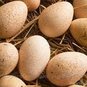 Яйцо инкубационное бройлерных кур фото