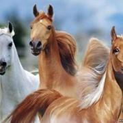 Разведение племенных лошадей фото