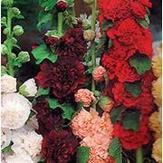 Семена мальвы Махровая смесь фото