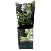 Самшит вечнозелёный (саженец декоративного кустарника), коробка фото