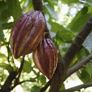 Какао бобы фото
