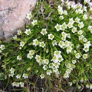 Минуарция лиственницелистная (Minuartia laricifolia) фото