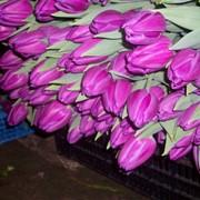 Тюльпаны оптом фото