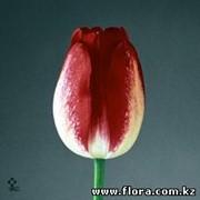 Тюльпан Ajax фото