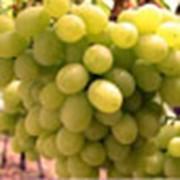 Виноград сорта Виктория фото