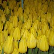 Тюльпаны Пинск. фото
