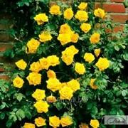 Роза Golden Showers фото