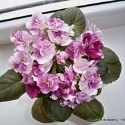 Фиалка Macs Southern Springtime фото