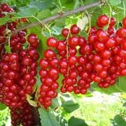 Красная смородина свежая ягода опт фото