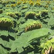 Семена подсолнечника гибрид Сучасник фото