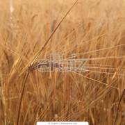 Зерновые культуры,Украина фото