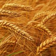 Фуражная пшеница фото