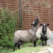 Овцы Романовской породы фото