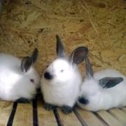 Продам кроликов фото