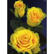 Срезанный цветок Роза Сфинкс фото
