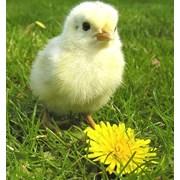 Суточные цыплята бройлера фото