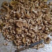 Опята грибы фото