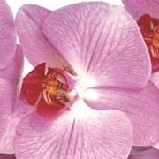 Фотовитраж ПР-20 Светлая орхидея фото