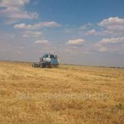 Пшеница IV-го класса фото
