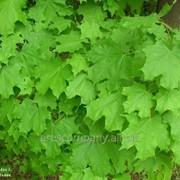 Клён Acer palmatum Higasayama 100 – 120 фото