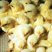 Инкубация цыплят суточных фото
