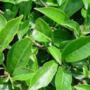 Жидкий ароматизатор Чай Зеленый с Лимоном R7587 фото
