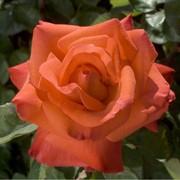 Розы чайно-гибридные, Роза Кристофор Колумб, Роза Христофор Колумб фото