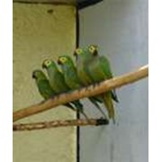 Попугаи Ара манилата фото